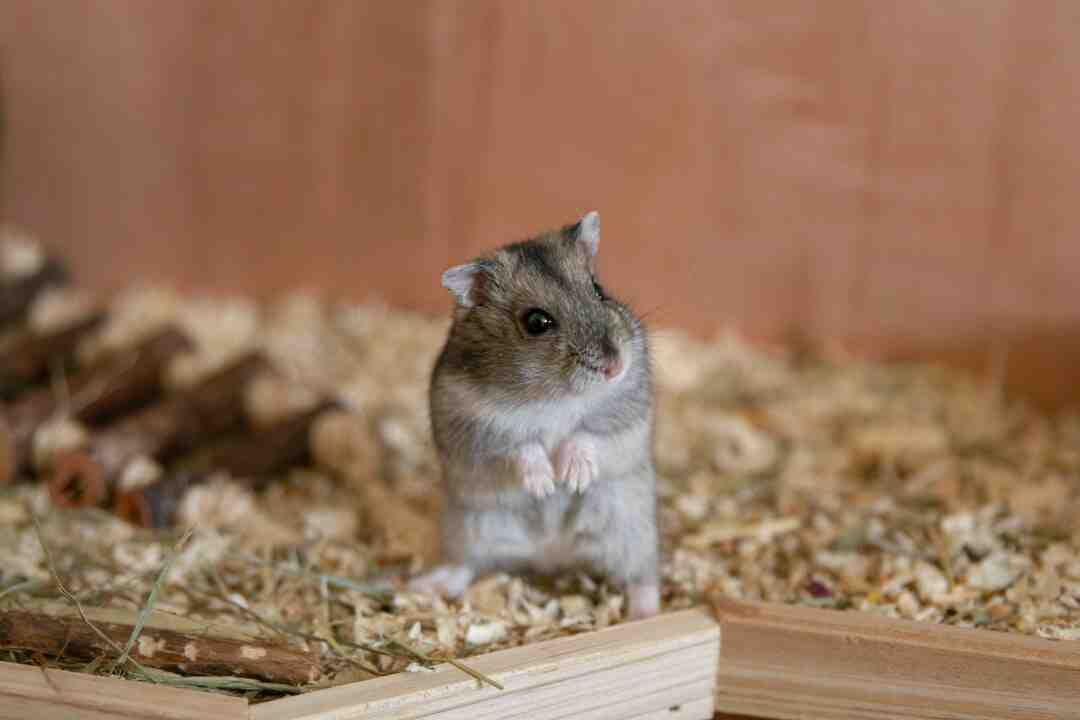 How do you tell if a hamster likes you?