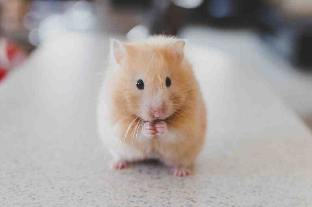 How to Know if a Hamster Is Right for You